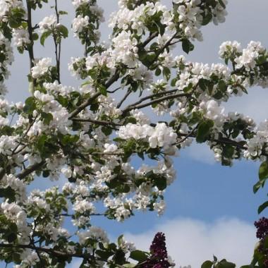 .................i kwitnące jabłonie..................w sadzie...............
