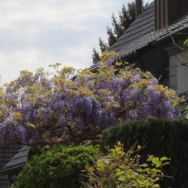 Azalie, rododendrony i nie tylko....