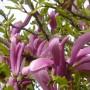 Pozostałe, Majowe love................. - ............i kwiaty magnolii............