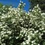 Rośliny, Czerwcowe róże ................. - ..................i jaśmin...............