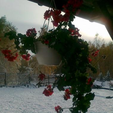 A to zdjęcie z pierwszego śniegu tej jesieni - a dokładnie 27.10.2012r. Musiałam uwiecznić te piekne pelargonie na tle zimowej aury. Następnego dnia oczywiście sniegu juz nie było ... ale pelargonii też!