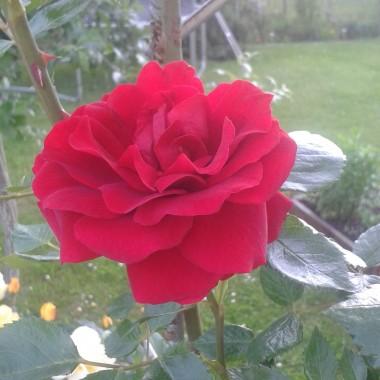 Po prostu róże...