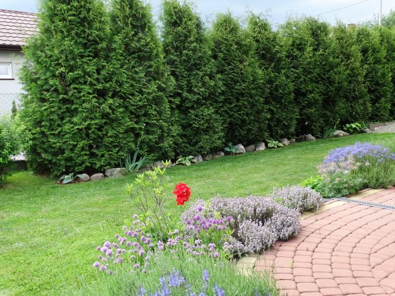 Ogród, wiosenny ogródek - tuje też przed strzyżeniem