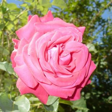 .............i czerwieni się róża................