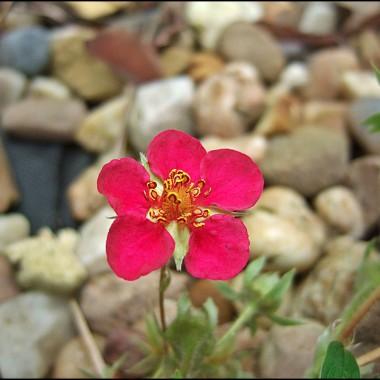 kwiat truskawki ozdobnej