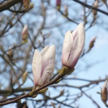 ...............i kwiaty magnolii......