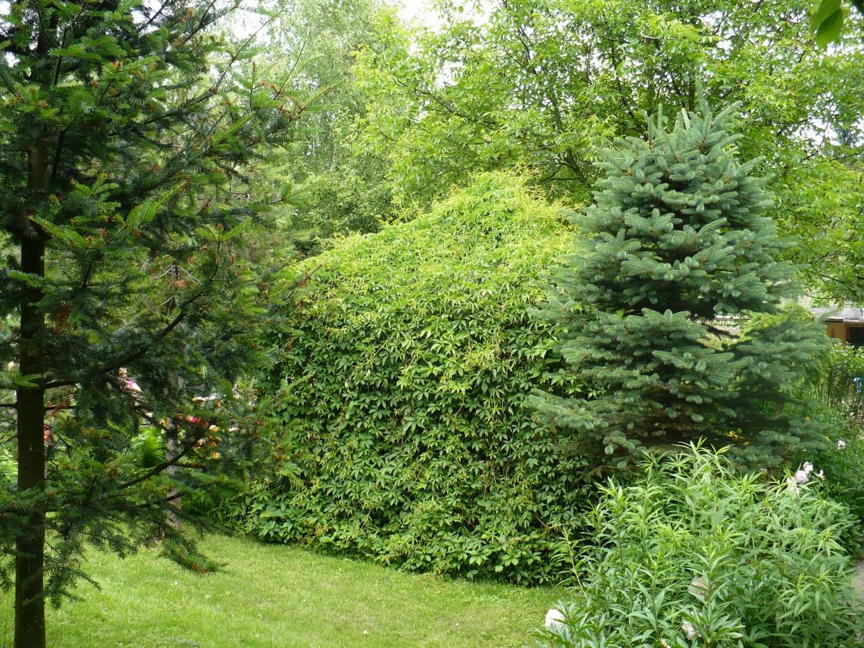 Ogród, W moim ogrodzie gdzie czas leniwy... - jets tez letnia altanka ktora obrosla cala winnym bluszczem