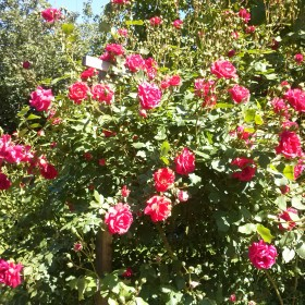 Różana