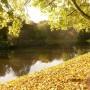 Rośliny, Złoto jesieni i moje zielone bombki..... - Złote liście spadają z drzew................