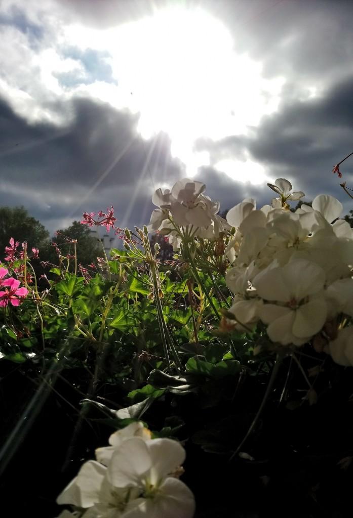 Rośliny, Jesienna galeria ...............z bombkami..... - ..................i pelargonie................