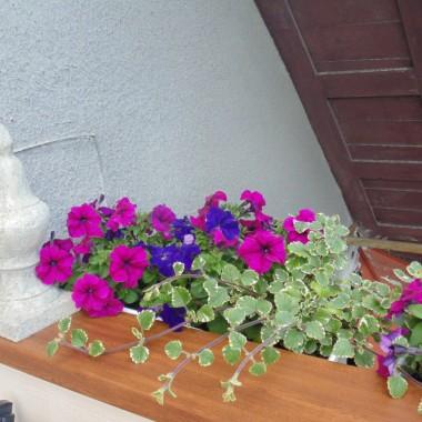 Kiedy mnie więcej rok temu, chodząc koło tego domu....z tym oto balkonem , myślałam...Boże ,ależ z  tamtą musi być cudny widok..... i ten widok teraz jest  mój.... mieszkanie było na sprzedaż....nie było łatwo , ale udało się :))))))))))  i  związku , z tym że w pozostałych pomieszczeniach , naszego mieszkania trwają remonty....tylko balkon się ostał  :)))  Gdzie nie ma kurzu , bałaganu i gruzu :)))))   Kwitną kwiaty, śpiewają ptaki  i cudnie się na nim wypoczywa , zwłaszcza wieczorami.... kiedy milkną hałasy z ulicy , robi się cichutki i tylko  ja ( no ewentualnie mój M.  :)))  ) gazetki , kawusia, i świergot ptaszków.............  Wszystkich serdecznie pozdrawiam :)))