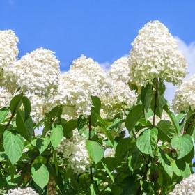 Hortensja 'Polar Bear' - stanowisko, sadzenie, uprawa, pielęgnacja, porady