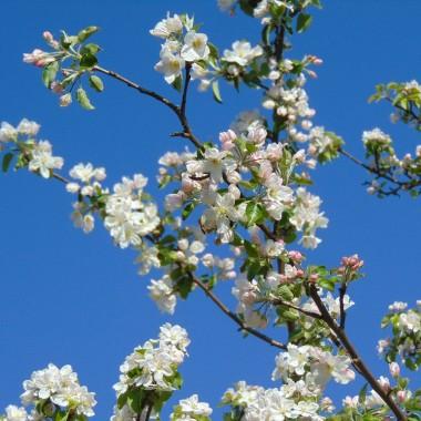 ................i kwitnąca jabłoń..................