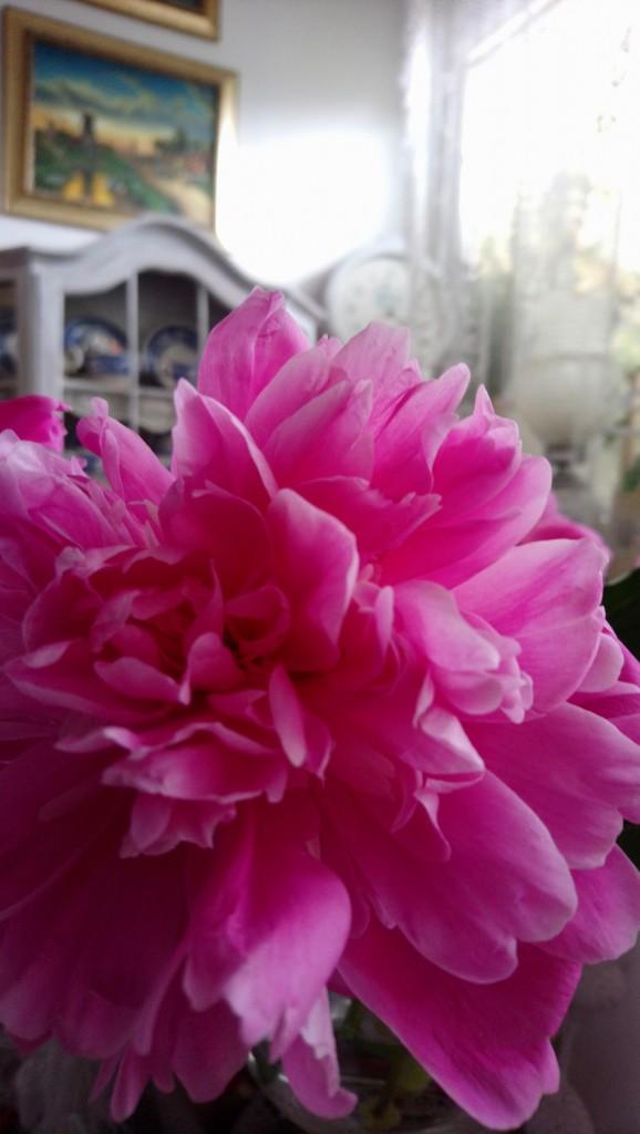 Rośliny, Czerwcowe róże ................. - .................i piwonia............