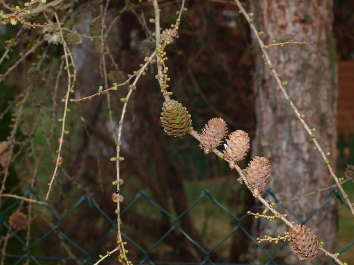 Rośliny, kwitnąca forsycja