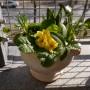 Balkon, Sezon balkonony czas zacząć - Prymula pięknie rozkwita w słońcu