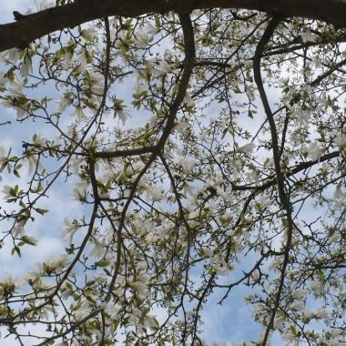 ..........i  niesamowite kwiaty magnolii..............