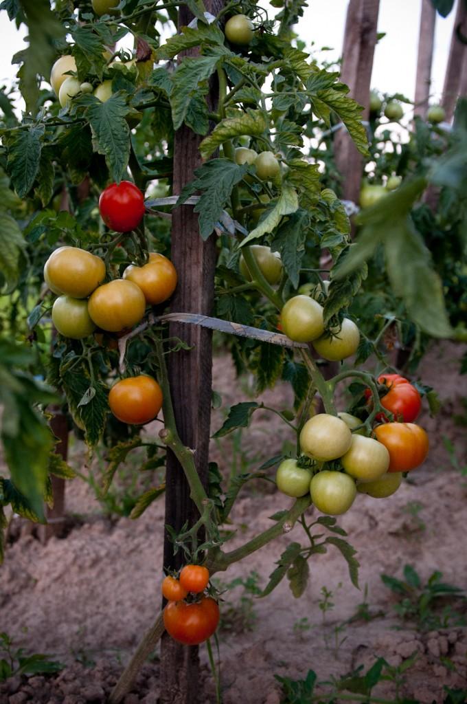 Pozostałe, Odwiedziny w warzywniaku - Czerwone, pyzate, smakowite latem.  A na długą zimę będą koncentratem