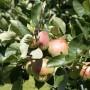 Pozostałe, LATO W PEŁNI - jabłuszka w naszym ogrodzie