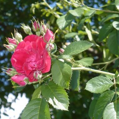 ..............i róża czerwona................
