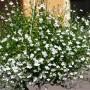 Rośliny, ROSLINKI NA BALKON I DO OGRODKA - LOBELIA