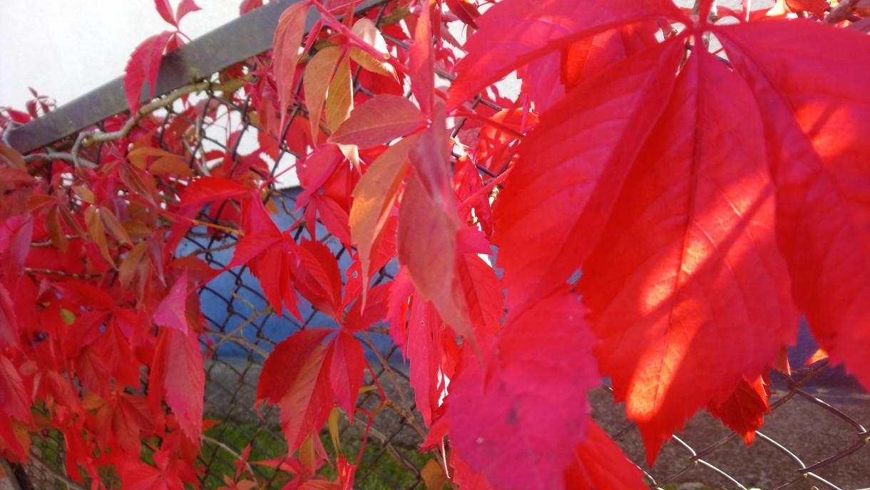 Rośliny, Jesienna galeria ...............z bombkami..... - ....................i dzikie wino czerwieni się na płocie...............