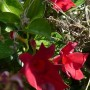 Pozostałe, Galeria jesienna.................październikowa............. - ................i sandawilla wciąż kwitnie.............i cieszy.........