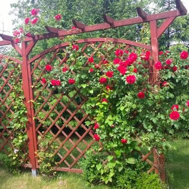 pergola z różami i klematisami
