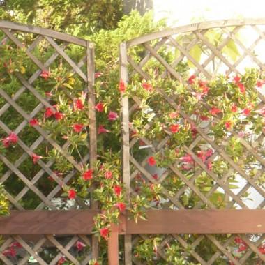 ...........kwitnie obficie...........