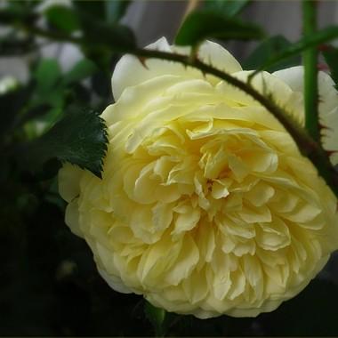 Róże z mojego balkonu