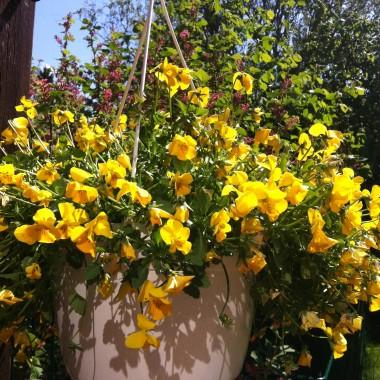 """Witajcie kochane, po długiej nieobecności postanowiłam dodać troszkę """"słońca"""" tym, którym go tak strasznie brakuje. Mam nadzieję, że spodobają się Wam moje roślinki.Gorąco pozdrawiam :)"""