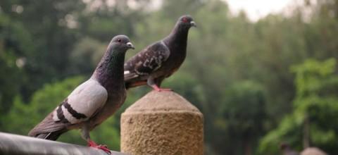 Które ze sposobów na pozbycie się gołębi są najbardziej skuteczne?