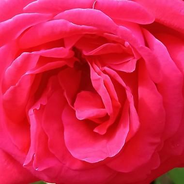 ..............i szkarłatna róża ..............
