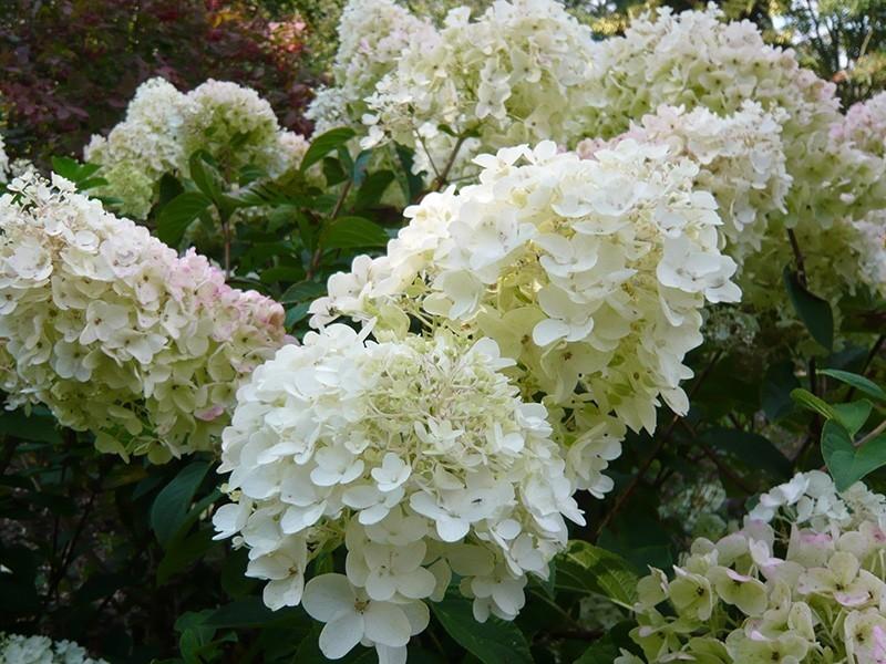 Hortensja silver dolar kwiat