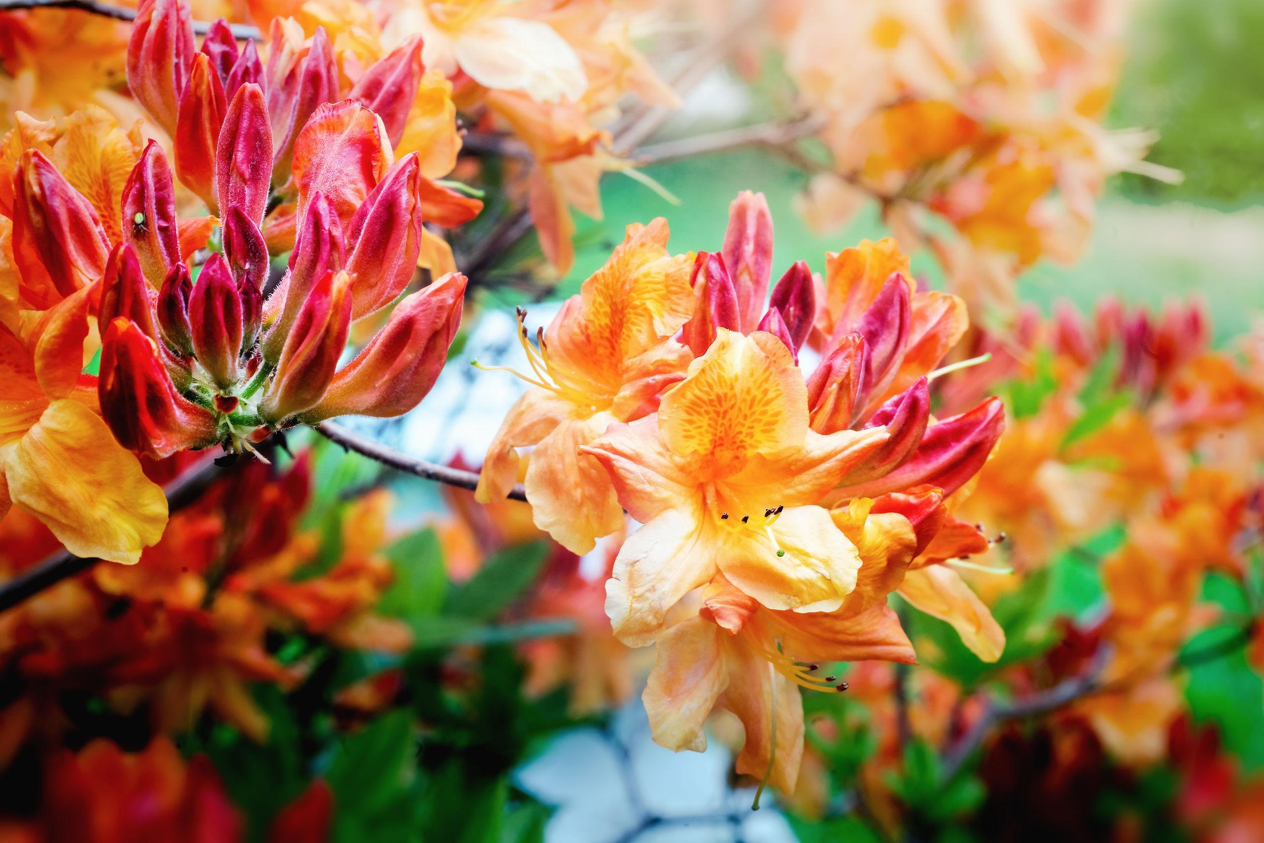 Pomarańczowe kwiaty azali wielkokwiatowej