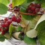 Rośliny, Złoto jesieni i moje zielone bombki..... - .................i moje winobranie................