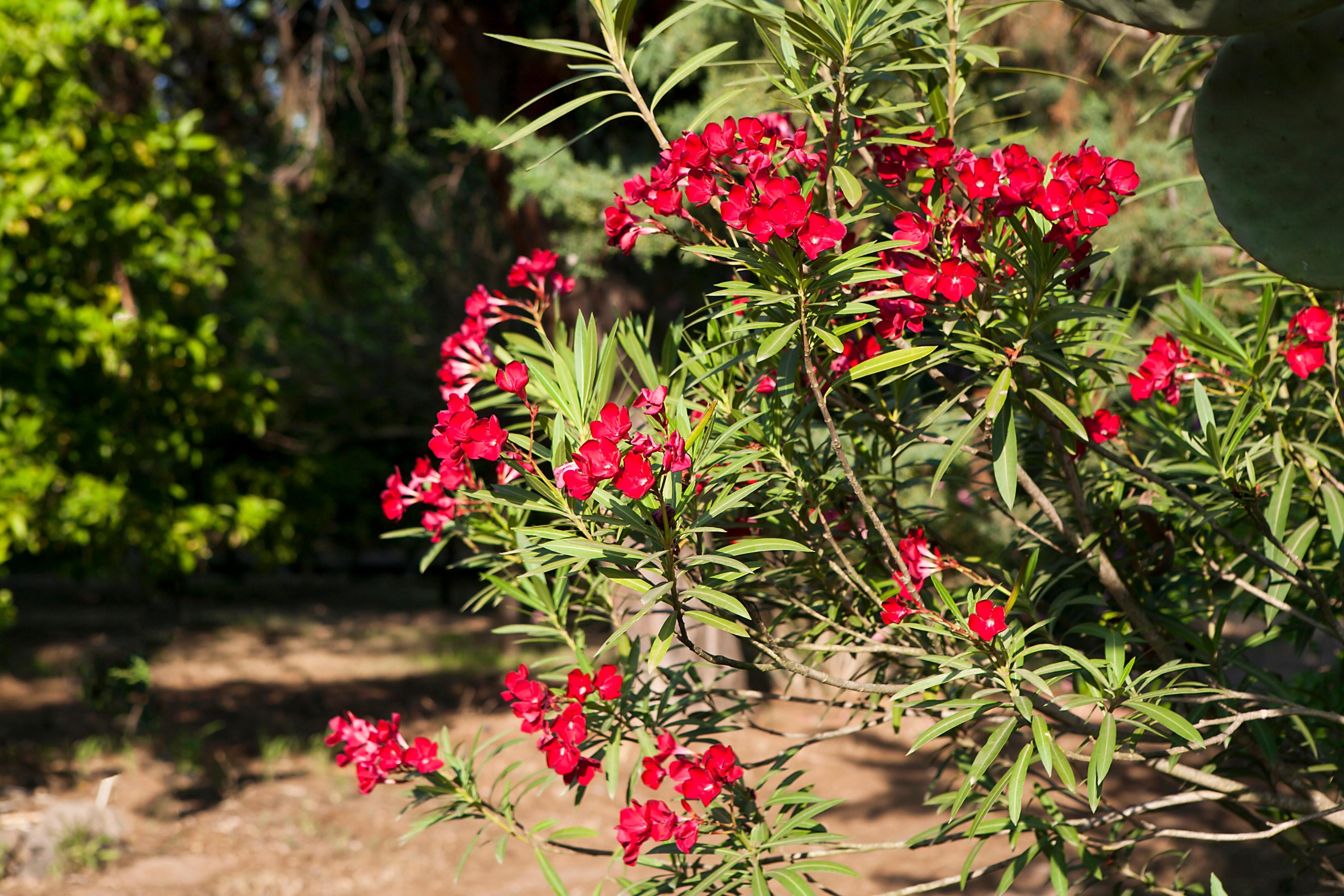 Oleander_czerwone kwiaty