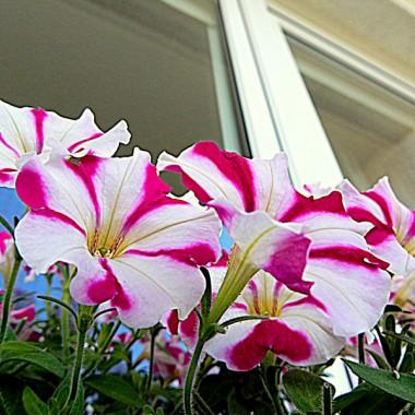 Urzekły mnie te petunie, miniaturki ... i w ten sposób zburzyły mój plan co do białych kwiatków