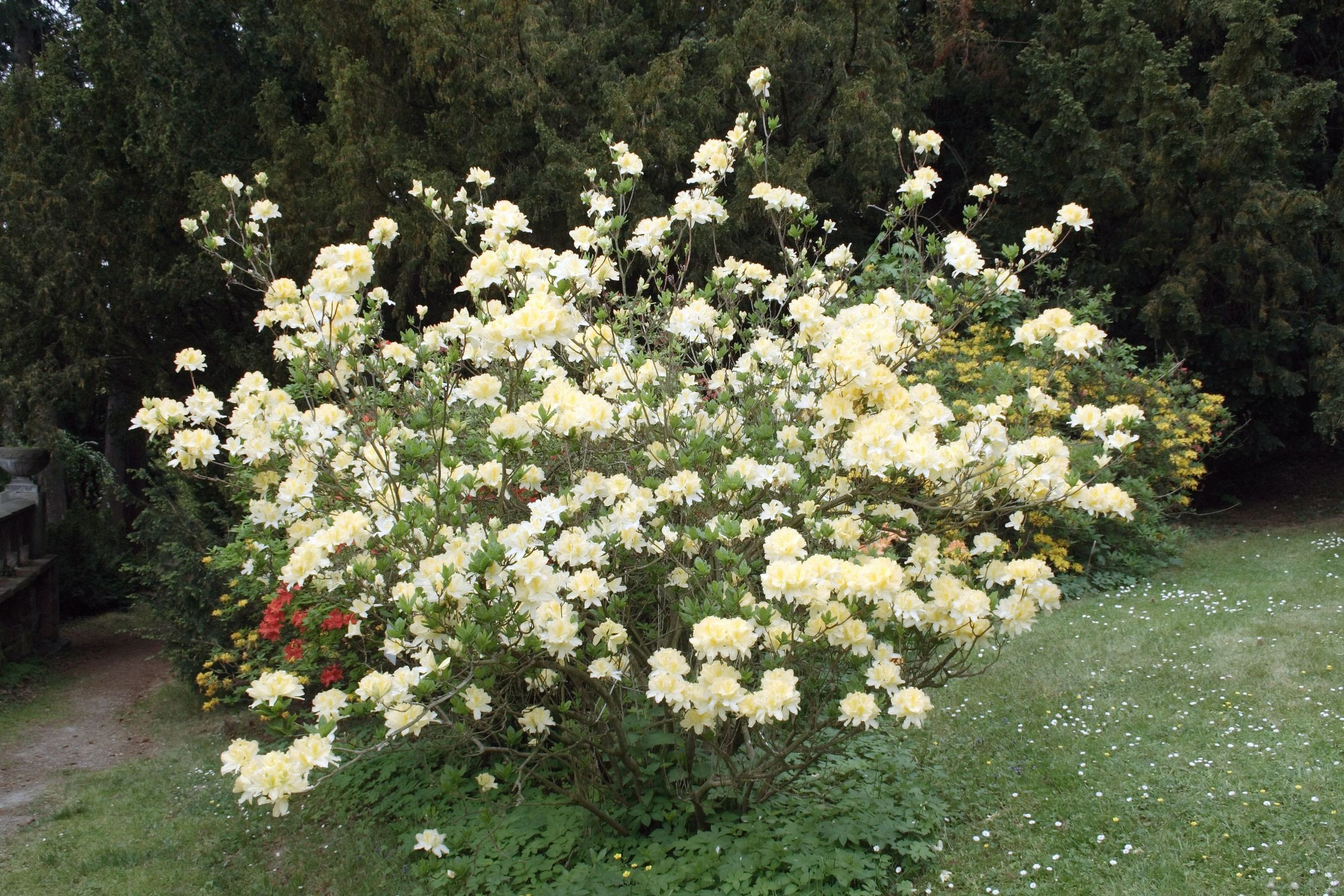 Krzew azali wielkokwiatowej kwitnący na biało