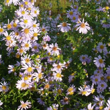 .............i marcinki...........wciąż kwitną w ogrodzie.................