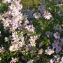 Pozostałe, Listopadowe małe radości................ - .............i marcinki...........wciąż kwitną w ogrodzie.................