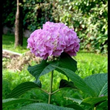 hortensja, jeden z moich ulubionych kwiatów...