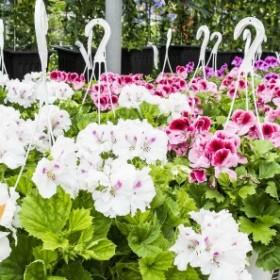 Wiszące doniczki na balkonie - jakie kwiaty w nich posadzić? Nasz Ekspert odpowiada!