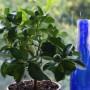 Rośliny, Rosliny w domu - Kalamondina (Citrofortunella microcarpa)