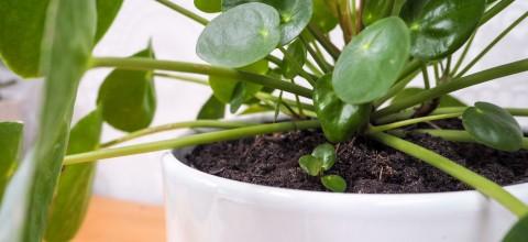 Pilea peperomioides – roślina potocznie zwana pieniążkiem