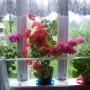 Rośliny, Groszki i róże