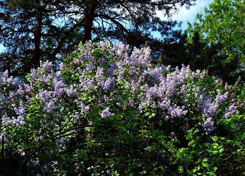 Ogród, Bez, bzy - rozrosły się krzewy bzu