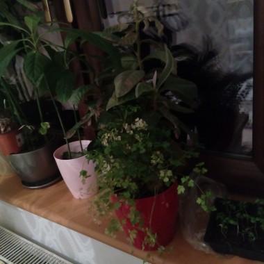 Wiosna na parapecie w mojej kuchni