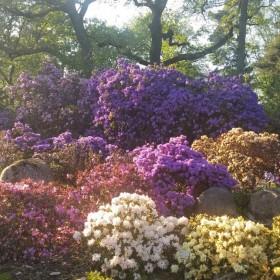 Rhododendron Park w Bremie tej wiosny również cieszy