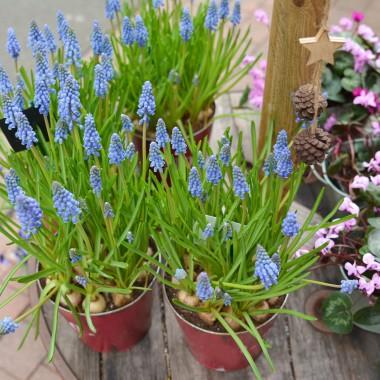 SzafirkiSą to rośliny cebulowe, tworzące gęste kępy, z których już w drugiej połowie kwietnia wyrastają niebieskofioletowe kwiatostany.Pozostałe, Robię wiosnę:)Można je uprawiać na rabatach w ogrodzie, ale również w donicach. Najpopularniejsze odmiany to szafirek armeński, szafirek szerokolistny czy szafirek groniasty.